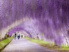 wisteria_flower_tunnel_2in_japan29122013