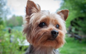 yorkshireterrier0816